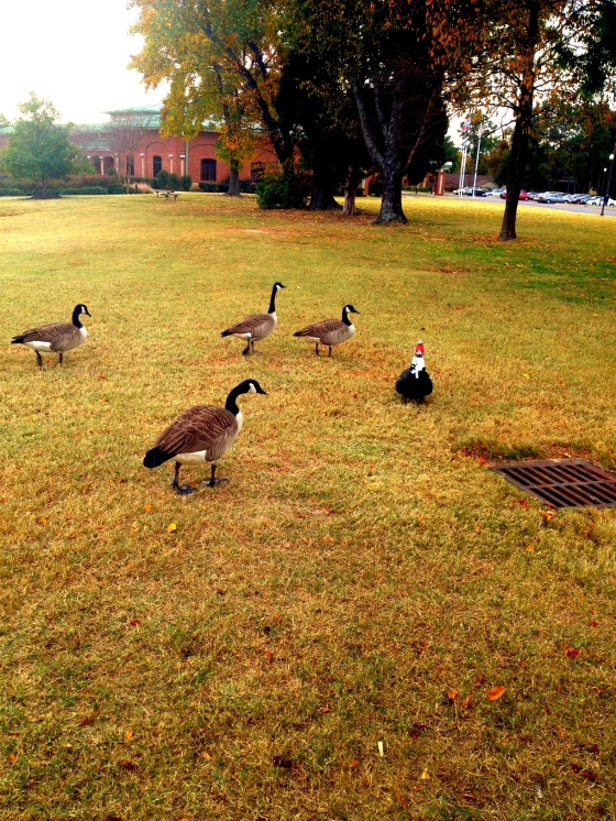 Geese-Duck-Family