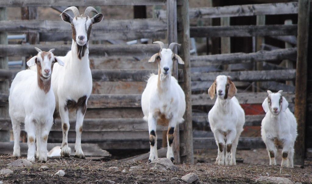 I Can't Babysit Your Pet Goat Because … 8 Simple Reasons